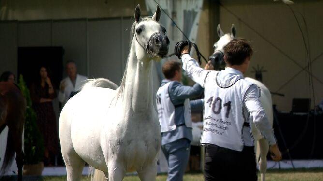 Pokaz koni czystej krwi arabskiej w Janowie Podlaskim