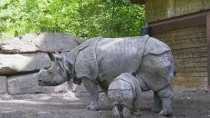 Nosorożec jawajski (Jo Oh/wikipedia CC BY-SA 3.0)